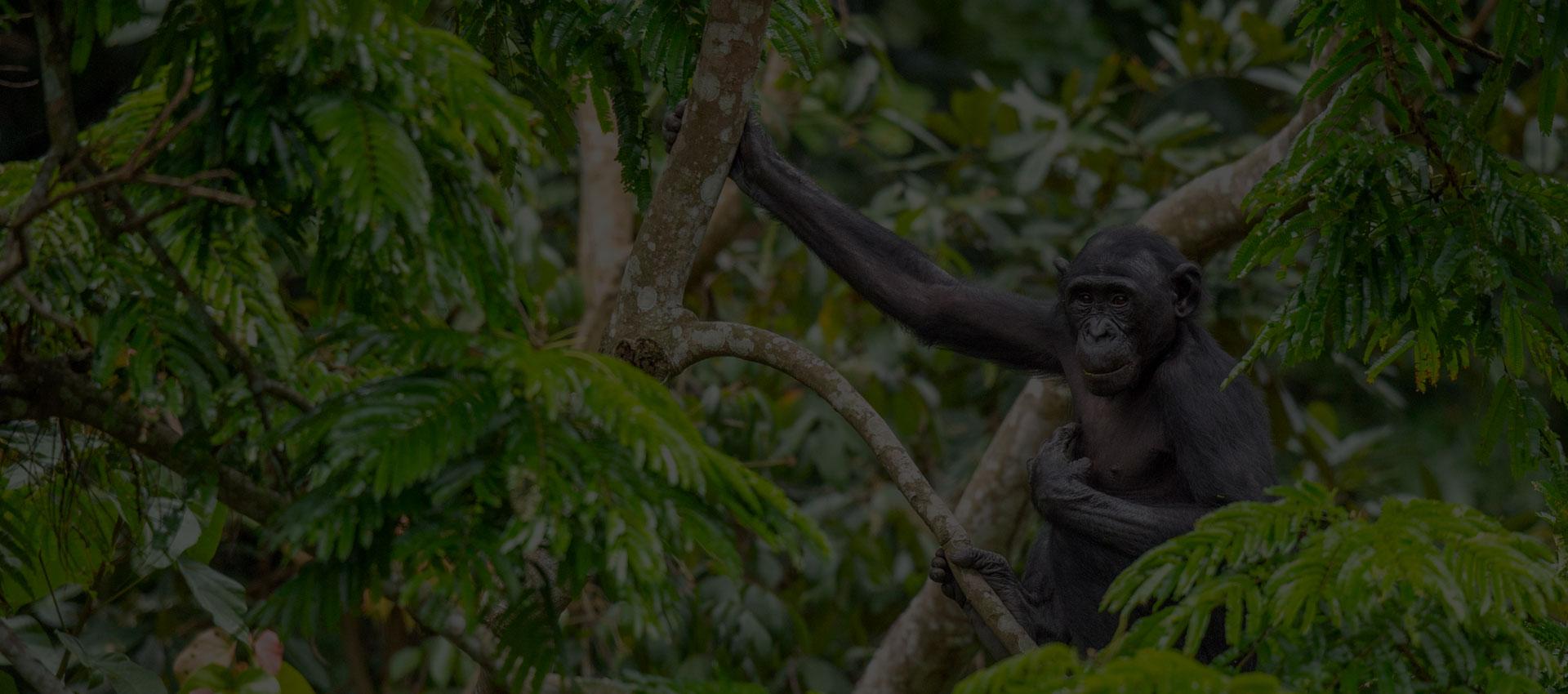 Préservation de bonobos